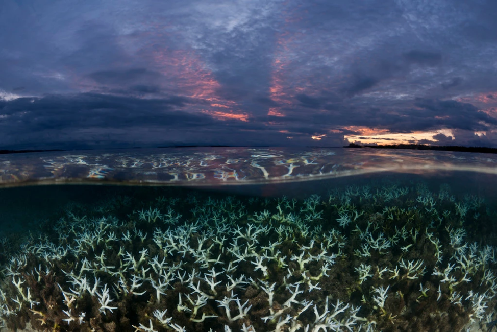 Bleached coral of Papua New Guinea caused by rising temperatures and ocean acidification. Jurgen Freund/New York Times